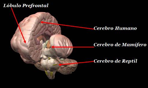 El cerebro reptiliano.